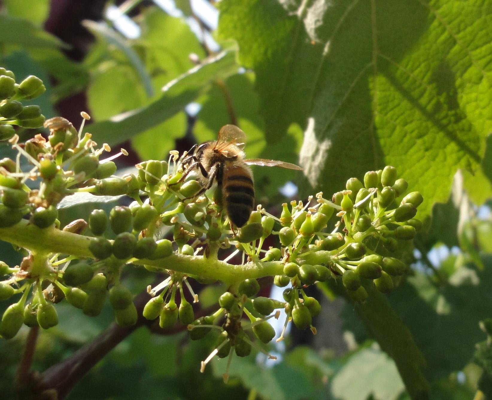 Bee on grape flower